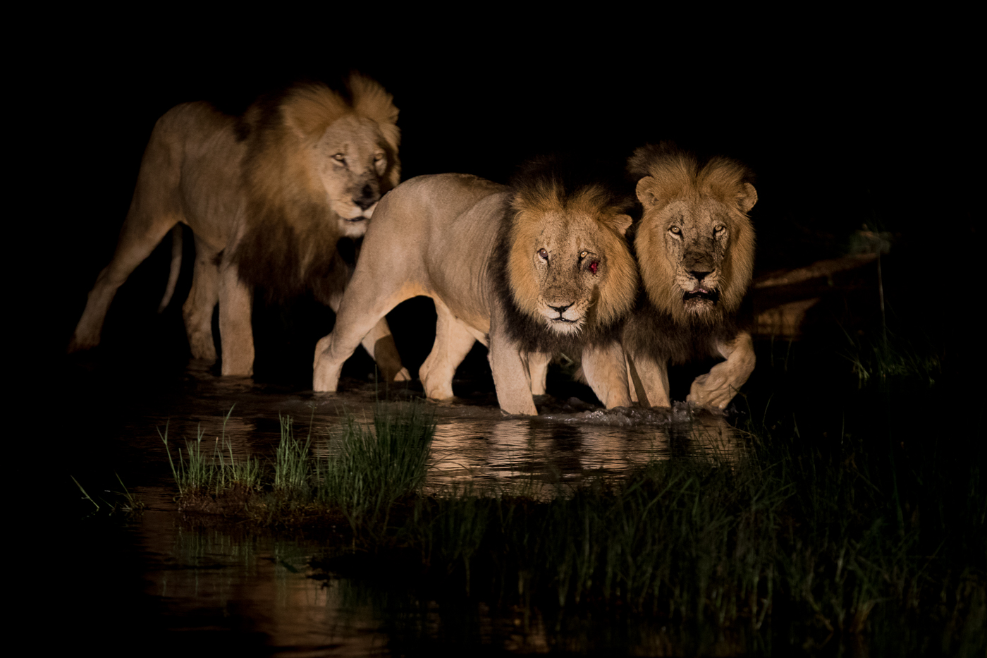 majingilane lion