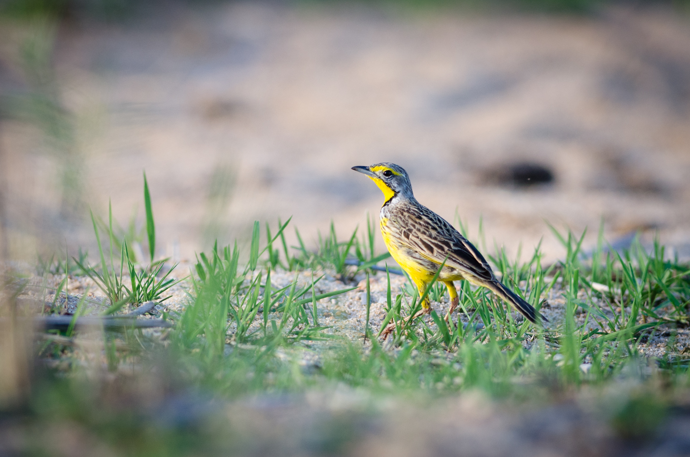 yellow-throated-long-claw-kp-1-of-1