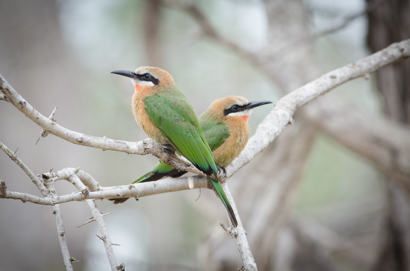white-fronted-bee-eater-kp