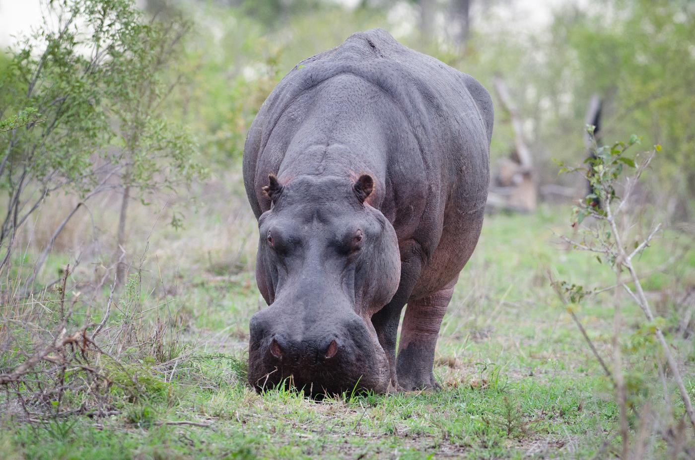 hippo-kp