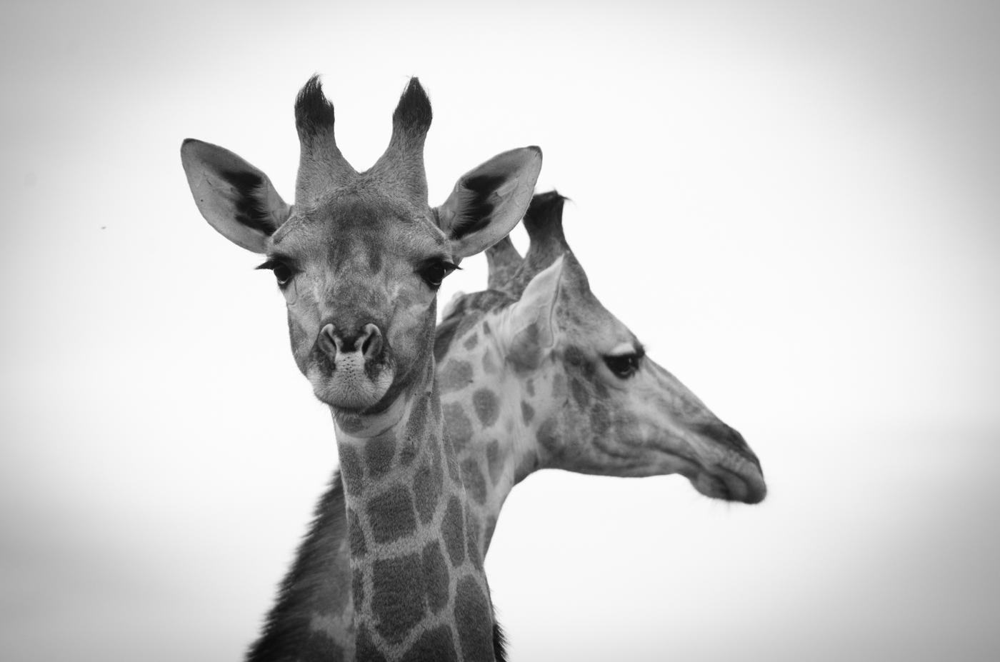 giraffe-kp