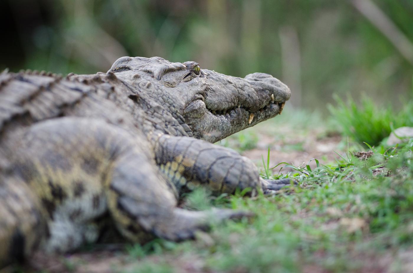 crocodile-kp