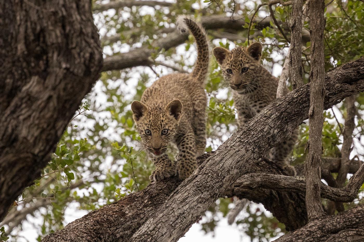 nanga leopard cubs
