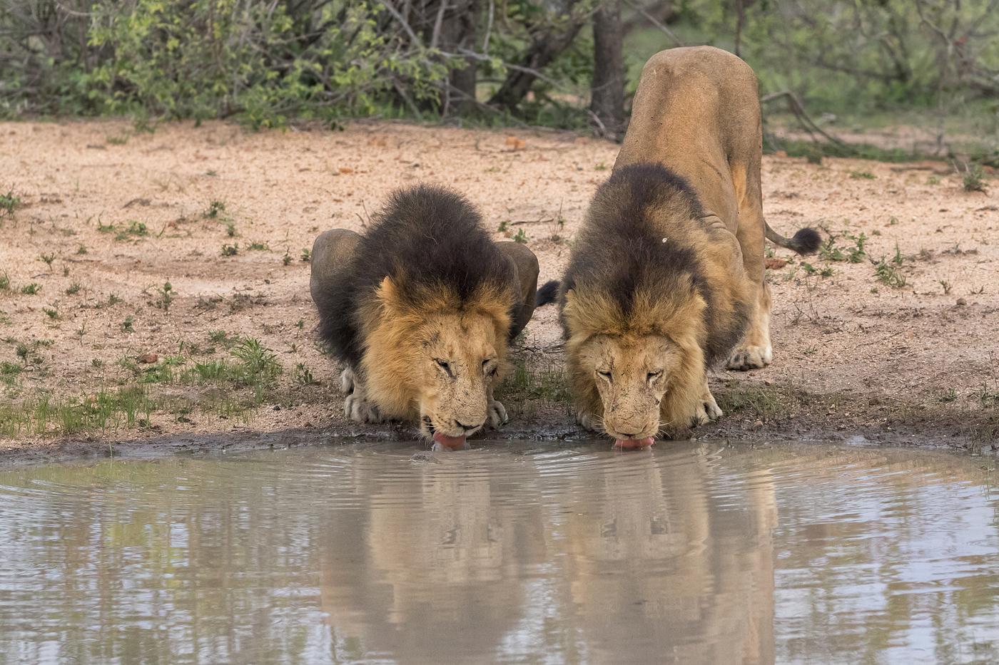 Majingilane lions drinking