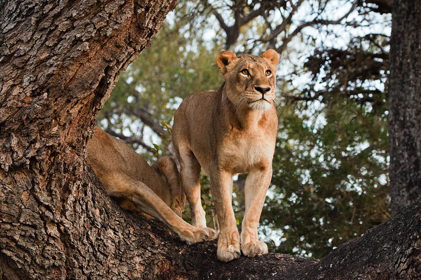 Tsalala Lioness Albizia