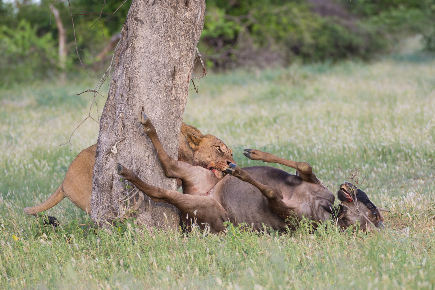 DSC_Munghen Breakaway Wildebeest Drag Alistair