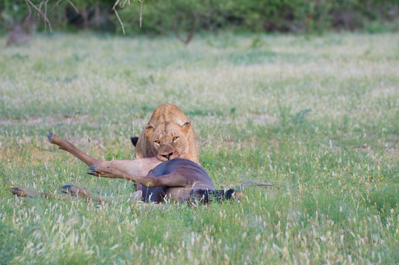 DSC_Munghen Breakaway Wildebeest Kill Alistair