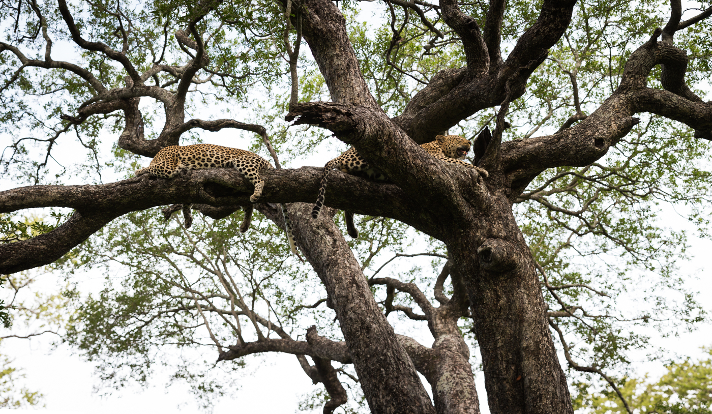 two leopards jackalberry tree JT