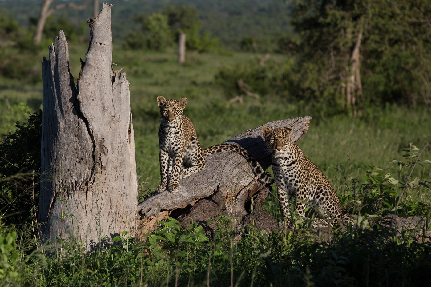 xidulu cubs