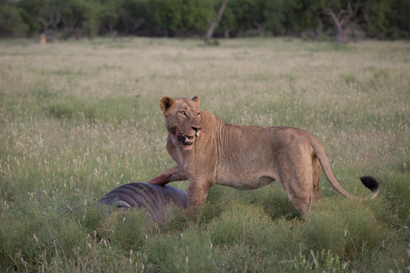 Mhangeni lioness wildebeest JT