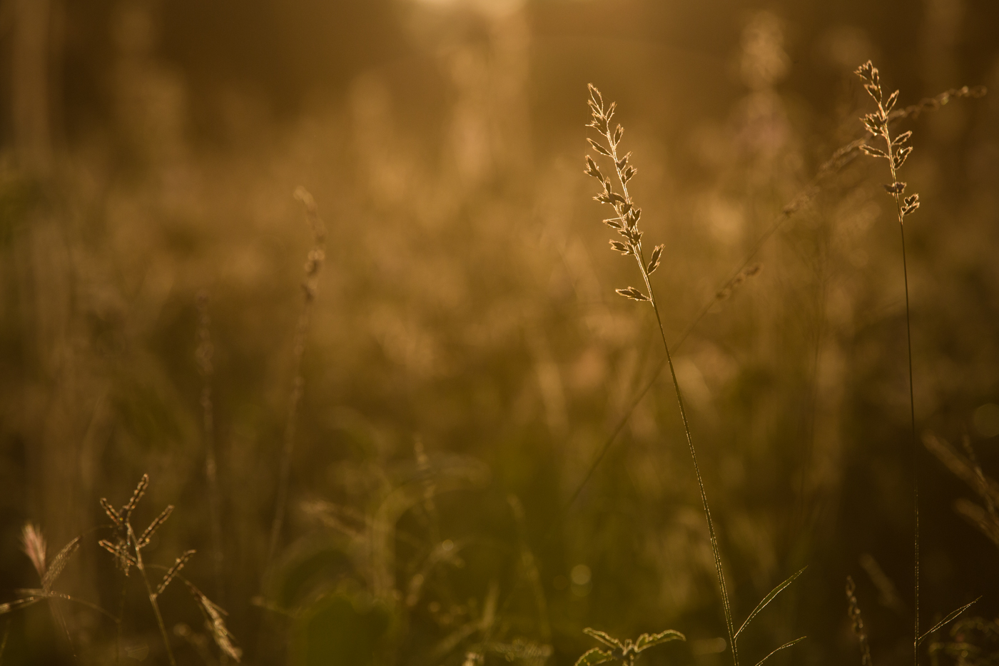 Grass Backlit golden JT