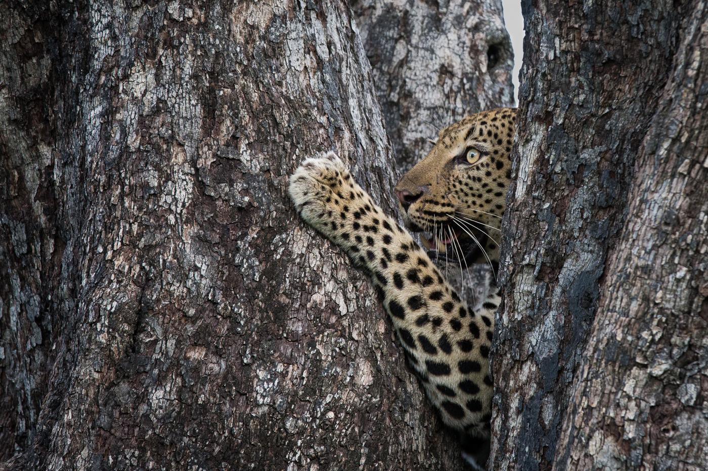Flat Rock leopard tree climb JT