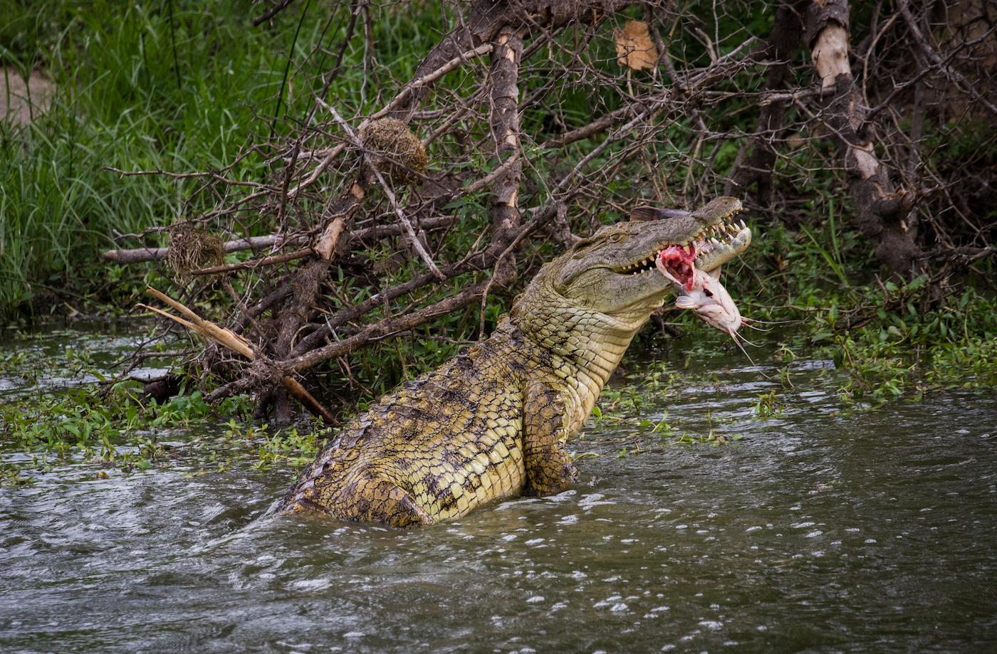 Croc catfish-1960