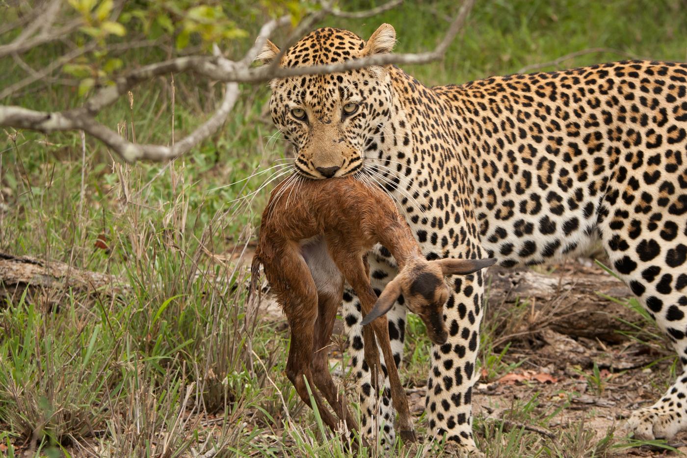 Ravenscourt male impala lamb JT