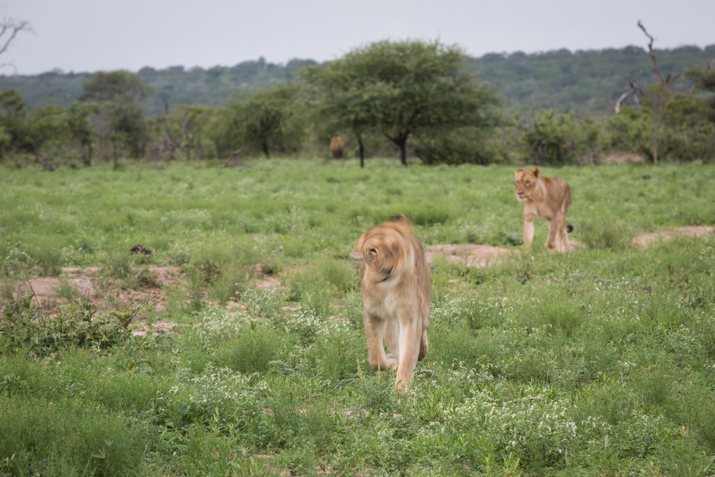 lioness-blur-matimba-jt