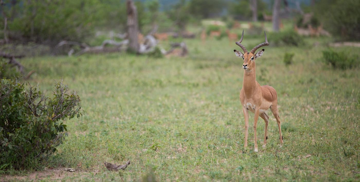 impala-look-jt