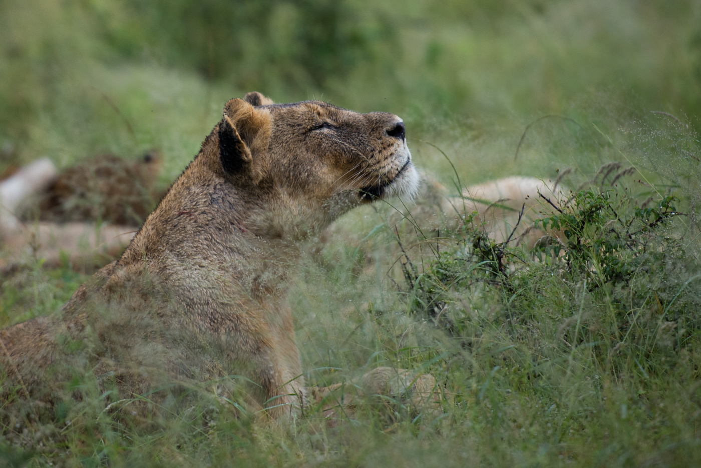 lioness sniffing