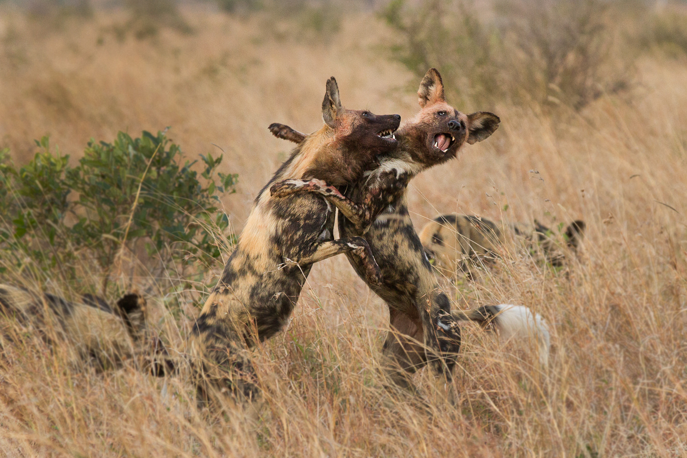 wild dogs play