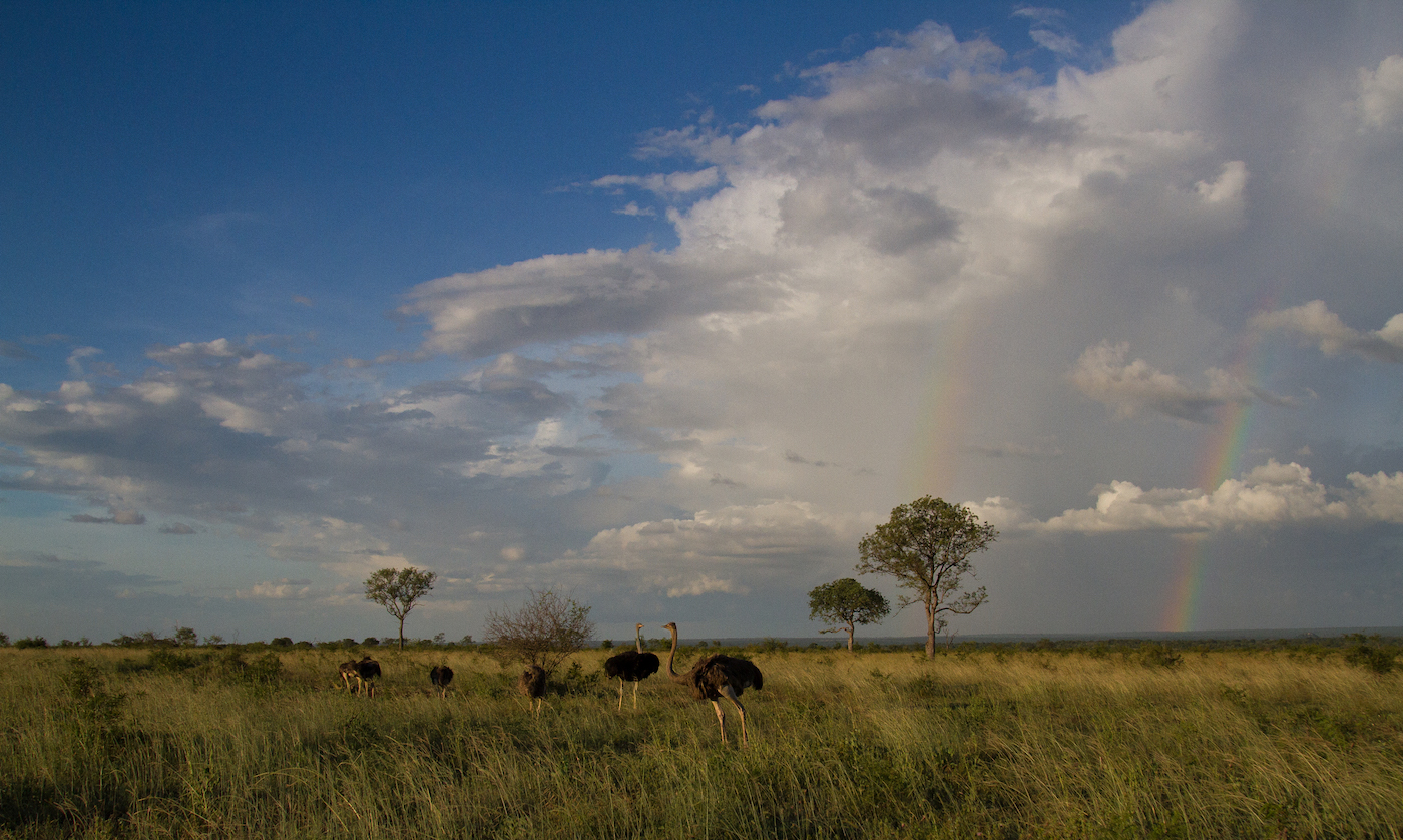 Ostrich double rainbow-3250