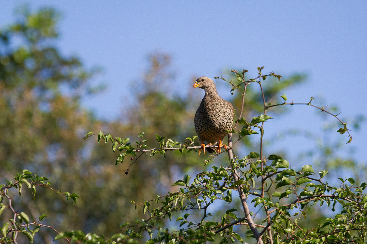 francolin tree alarm