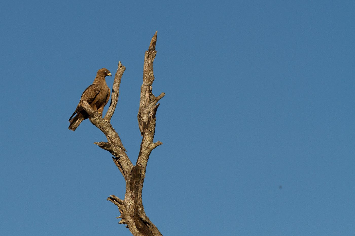 whalbergs eagle dead tree JT