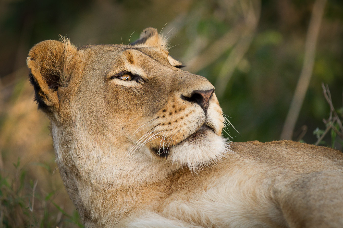 Lioness look up JT