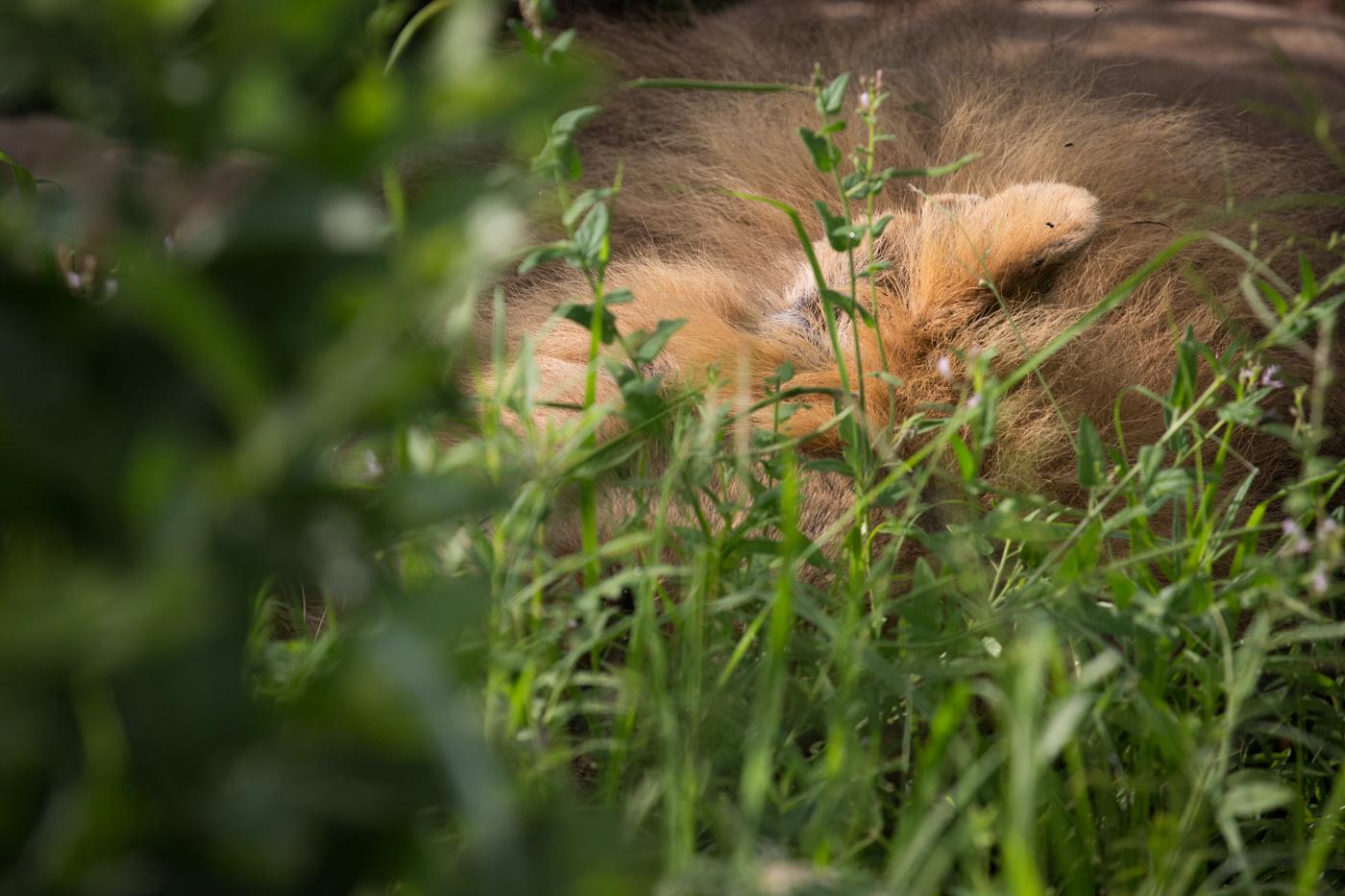Majingilane ear grass JT