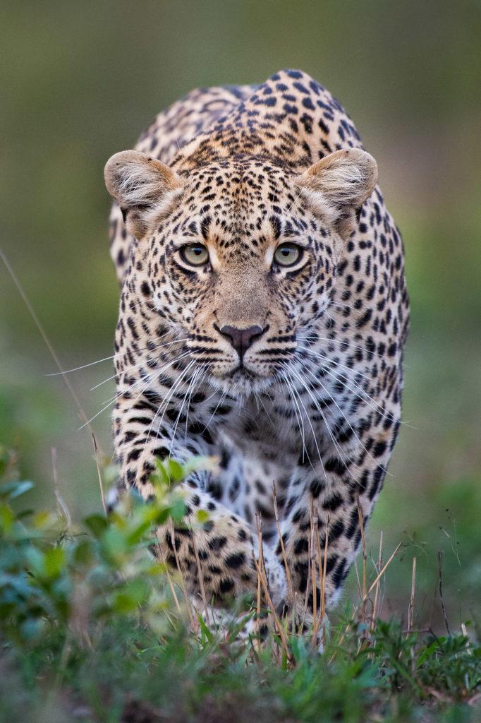 tatowa leopard