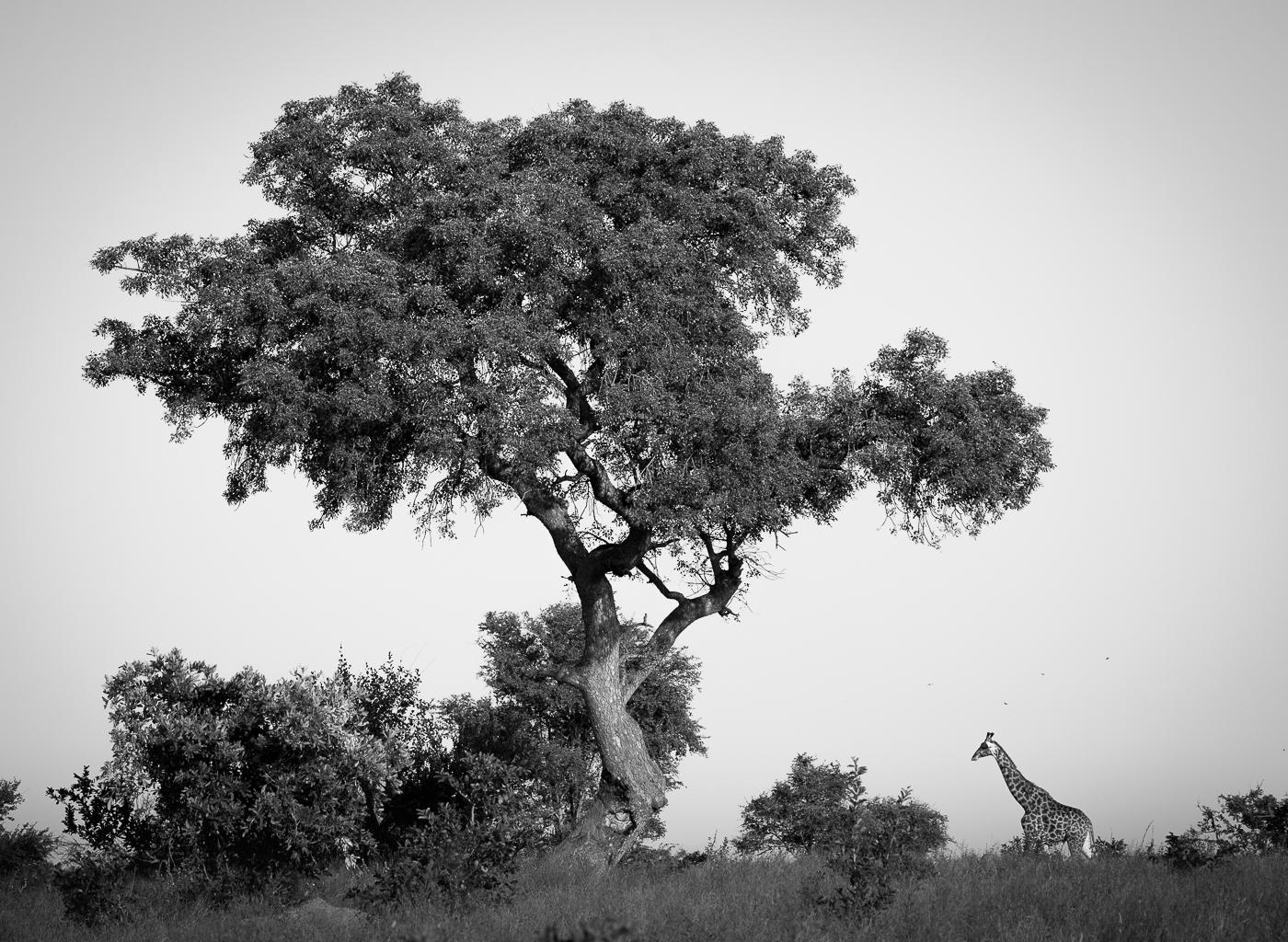 giraffe and marula