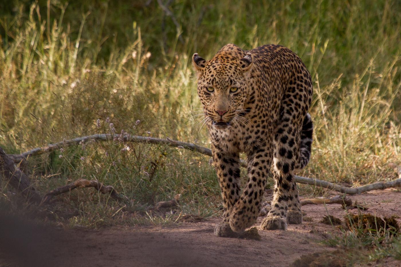 nhlanguleni female leopard