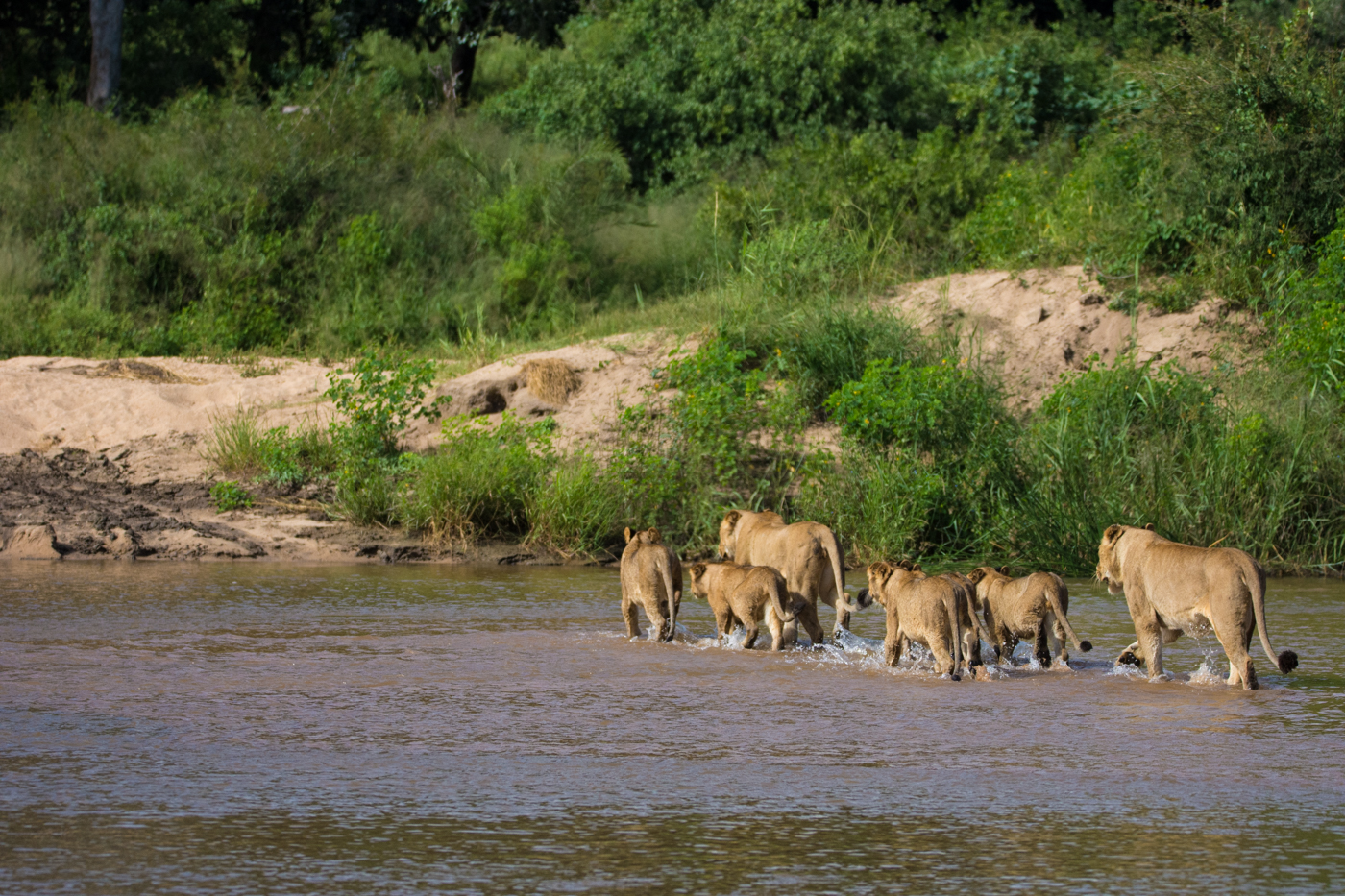 tsalala pride crossing river