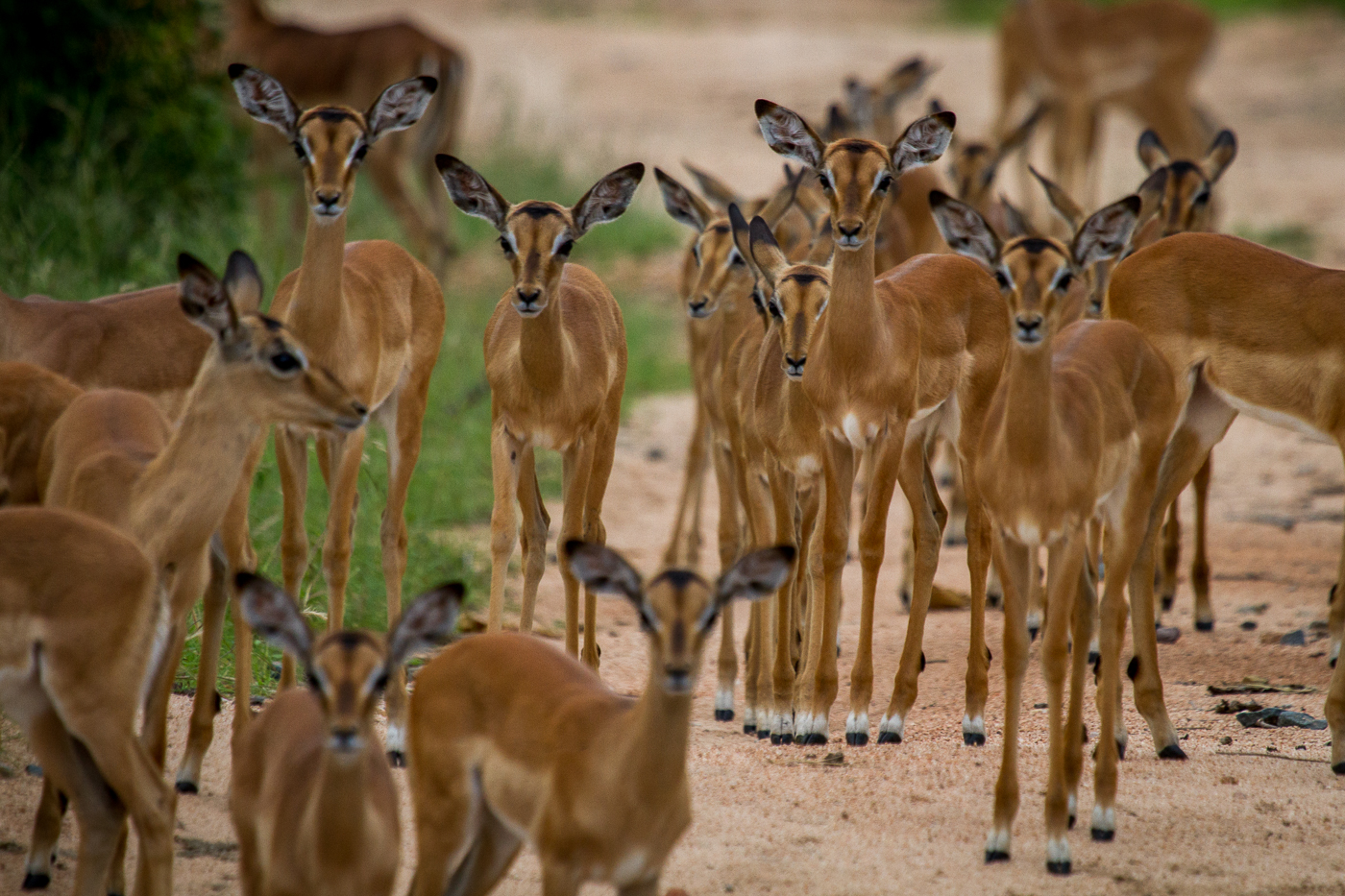 impala herd lambs