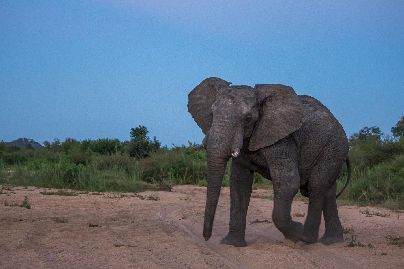 elephant bull finfoot