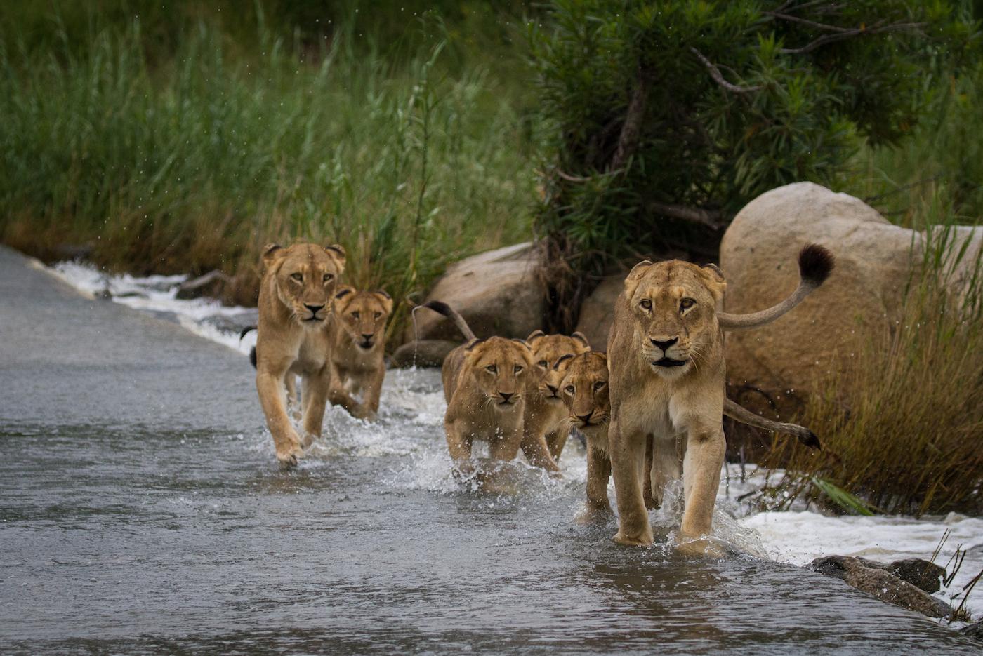 lions, sand river,