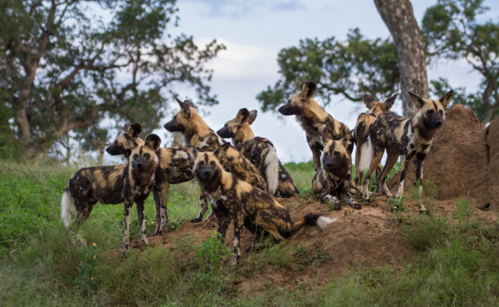 Londolozi Game Reserve, Kruger National Park, wild dogs, pack, rest