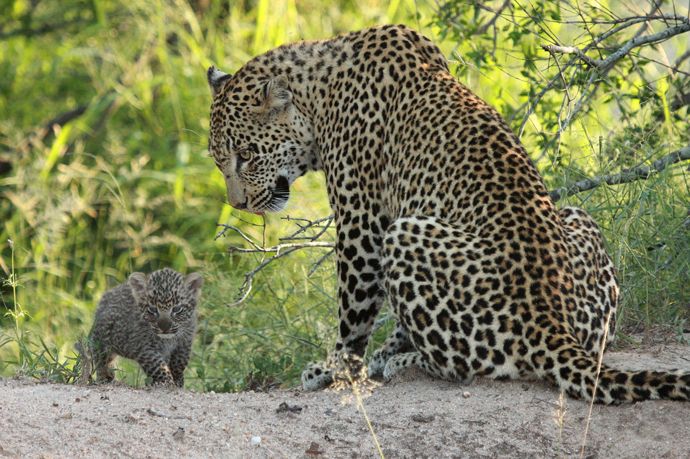 nkoveni leopard cubs