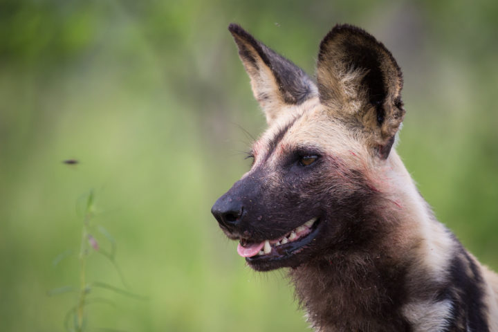 Londolozi, Kruger National Park, wild dogs, James Tyrrell