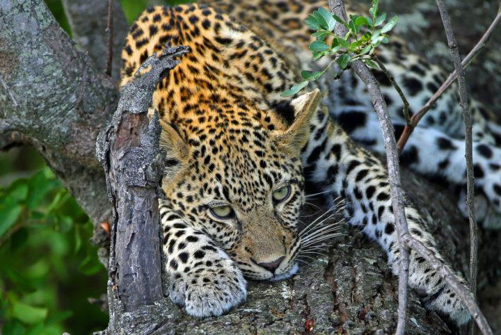 goldman s jaguar