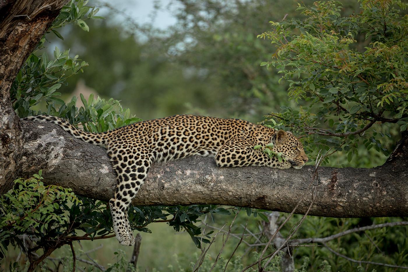 xidulu young male leopard, KJ