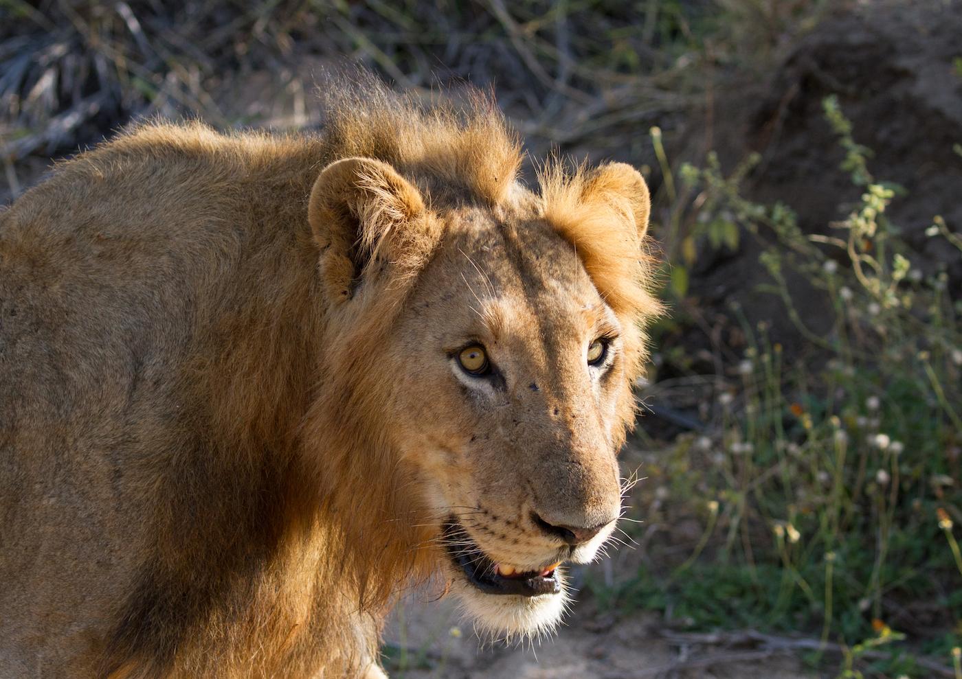 Tsalala breakaway male lion, CA