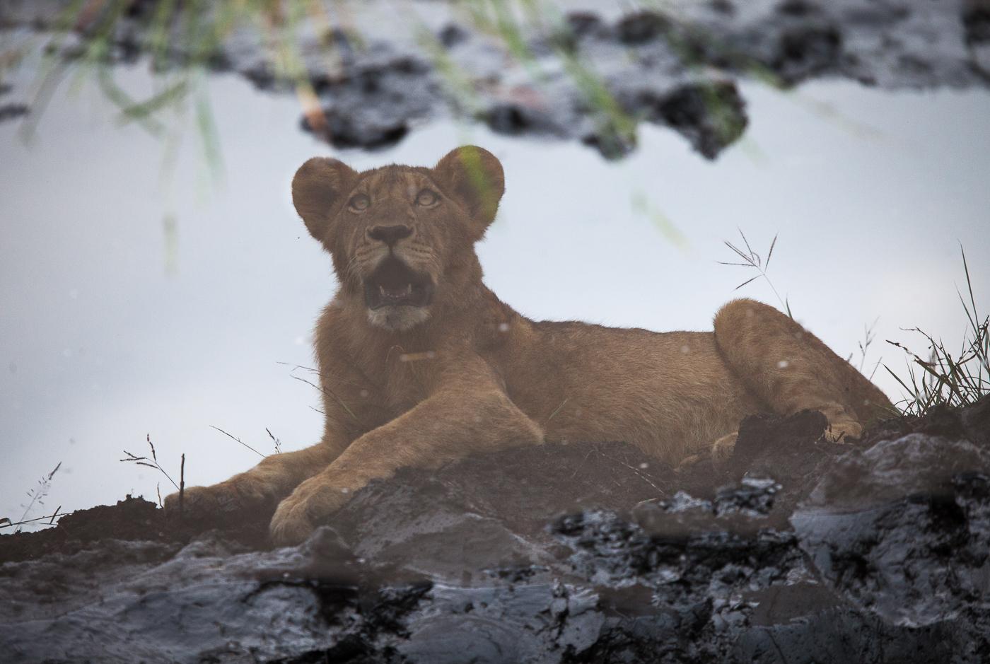 Mhangeni pride, lion cub, reflection, AA