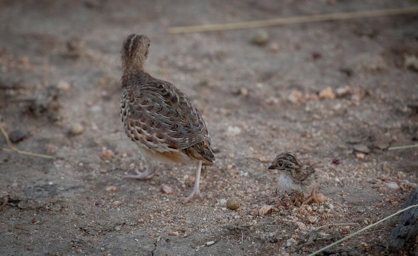 kurrichane buttonquail and chick, AA