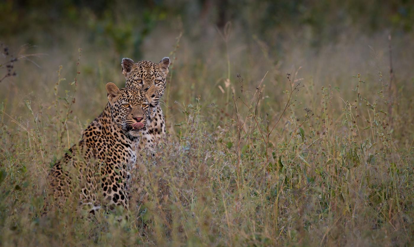 xidulu female leopard and cub, AA