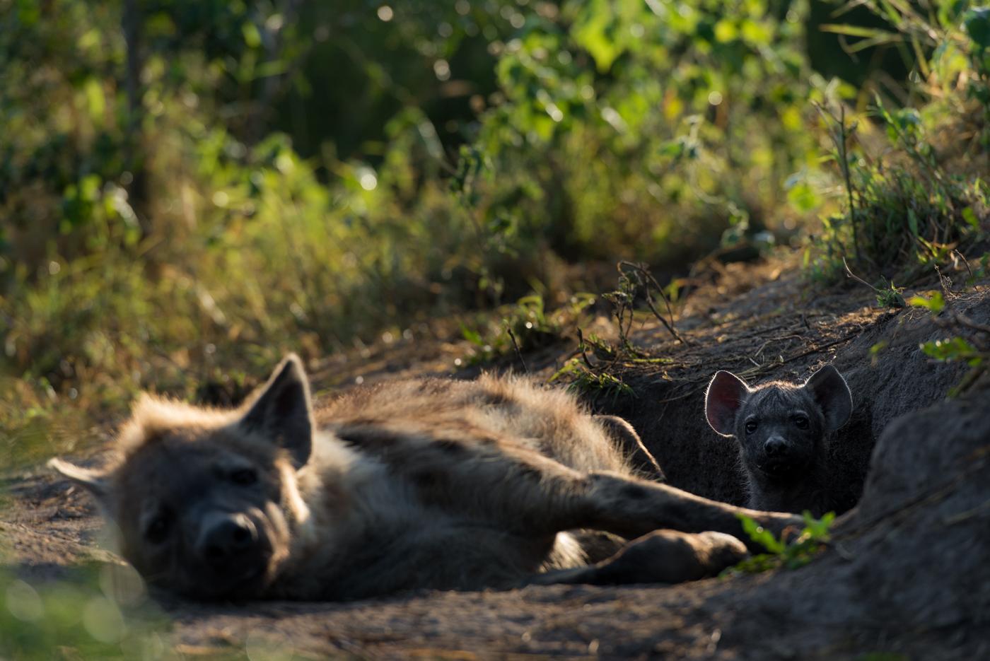 hyena cub, SC