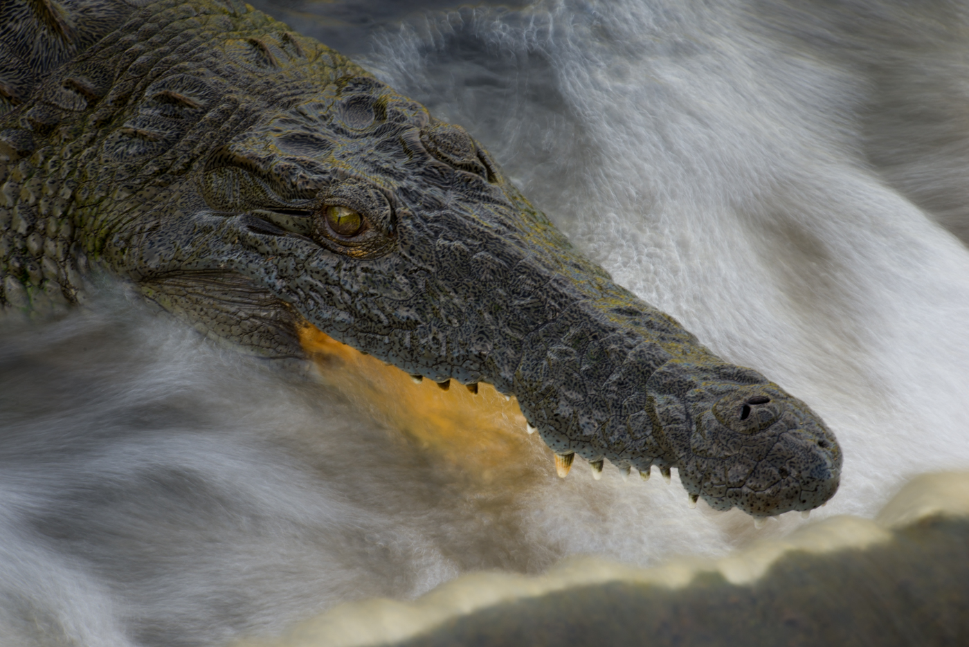 crocodile, SC