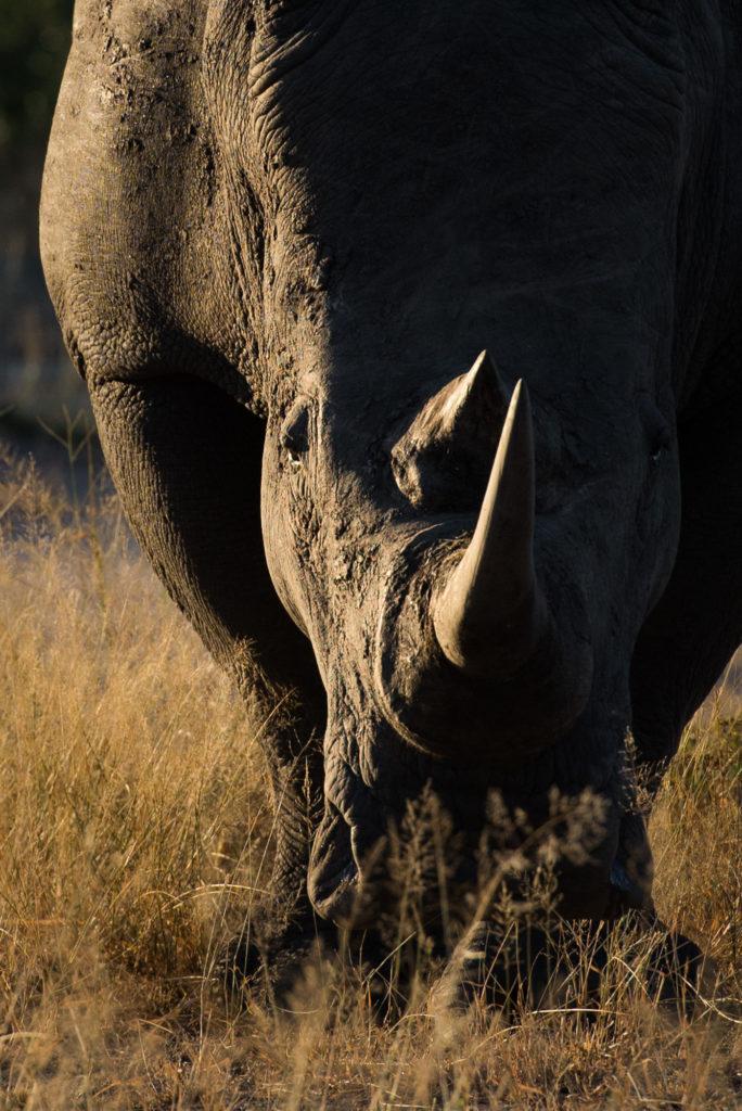 rhino, SC