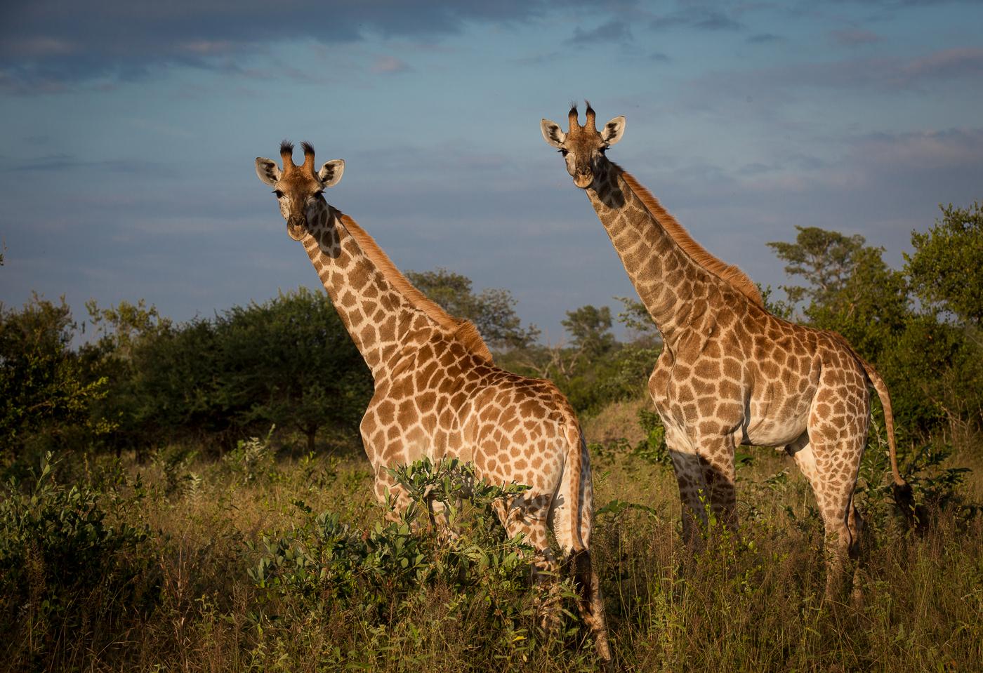 giraffe, AA