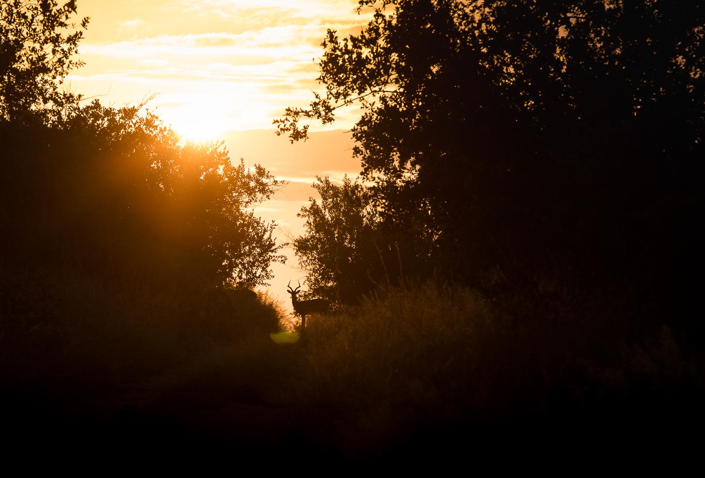 impala ram, sunrise, AA