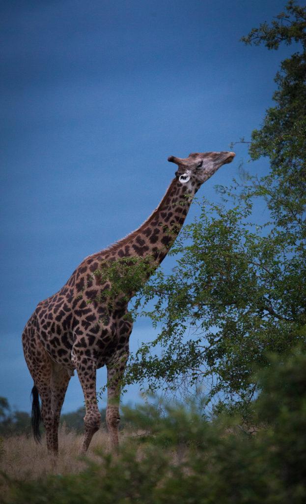giraffe black sky, AA