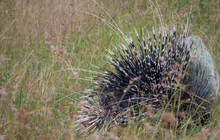 It all happened so fast that all we had time to photograph was the quills as the porcupine dashed off in search of cover